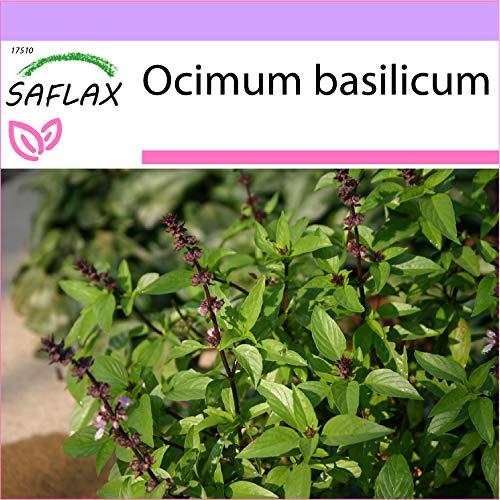 SAFLAX - Basilic thai - 200 graines - Ocimum basilicum