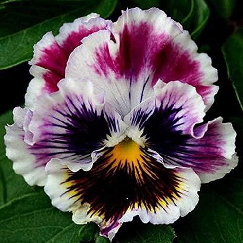 100 pièces Graines de fleur de pensée parfumée Mélanger la couleur en fleurs Viola tricolore pour la maison jardin jardin extérieur ferme plantation semence de jardinage annuelle rustique
