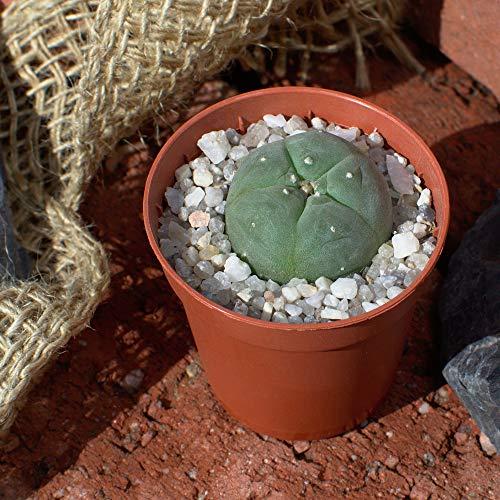 Lophophora williamsii Peyote Jungpflanze ab 2,6cm