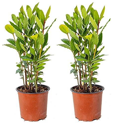 Echter Lorbeer | Laurus Nobilis pro 2 Stück - Freilandpflanze im Anzuchttopf ⌀15 cm - ↕35-45 cm…