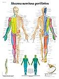 3B Scientific VR3621L Póster Explicativo sobre el Sistema Nervioso Periférico Humano
