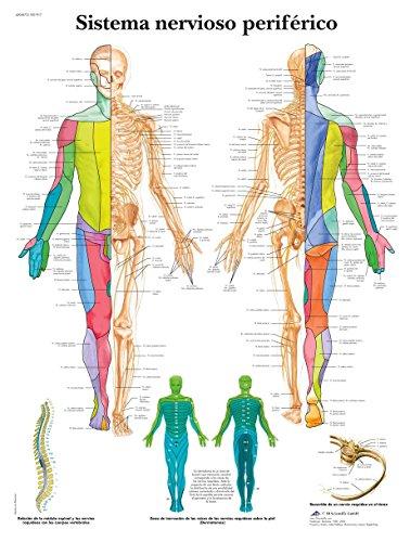 3B Scientific VR3621L Póster anatómico, Sistema Nervioso Periférico