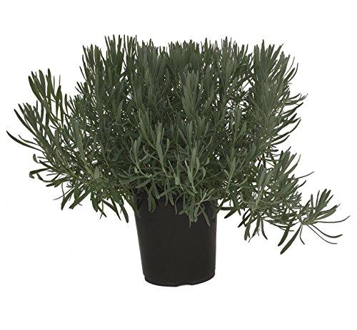 Premier Plant Solutions 15112 Provence Lavender/Lavandula, 19cm