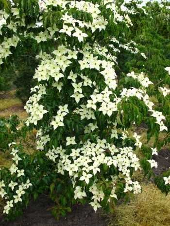 Blumenhartriegel Cornus kousa China Girl...