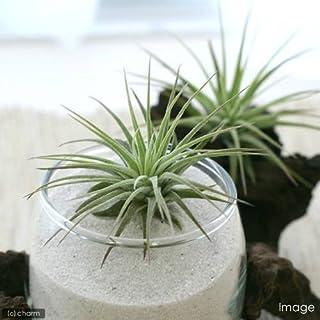 charm(チャーム) (観葉植物)エアープランツ ティランジア イオナンタ ルブラ(1株)