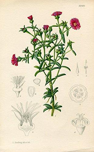 Delosperma Ornatulum. Altkolorierte Original-Lithographie (Aus: Curtis' Botanical Magazine, No. 9240).