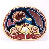 Modelo de enseñanza Modelo de perineo Masculino-Modelo neurovascular perineal Masculino-Modelo anató...