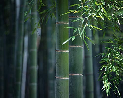 100 graines de géant Moso Bambou Phyllostachys pubescens frais