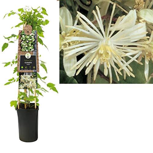 Waldrebe Clematis vitalba 60-80 cm Kletterpflanze