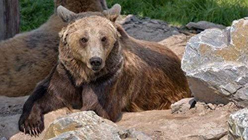 ChuYuszb Pussel för vuxna 1000 bitar Pussel Ålder Leksak för män kvinnor barn pojke flicka konst dekoration djur brun björn