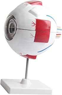 Baosity Eyeball Anatomy Model Magnification Eye Model Eye with Stand