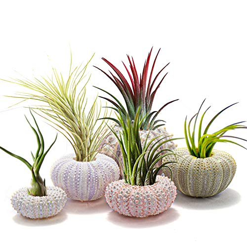5 Pack Mini Sea Urchin Shell Hanging Pot- Decorative Hanging Air Plant Holder in 5 Styles Cute Tillandsia Succulent Display Container with Rustic Ropes for Home Garden Decors Beach Theme Party Favors