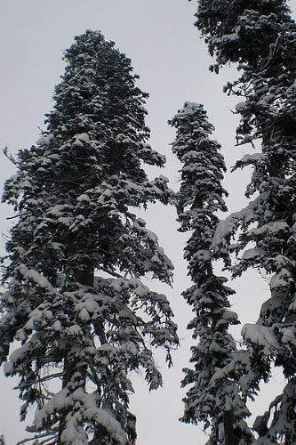50 Samen der ''echten Nordmanntanne'' -Abies nordmanniana- -Beliebtester Weihnachtsbaum- >Frisches Saatgut<