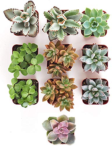 Shop Succulents Assorted Collection   Gift Ideas for 21-Year-Old Females