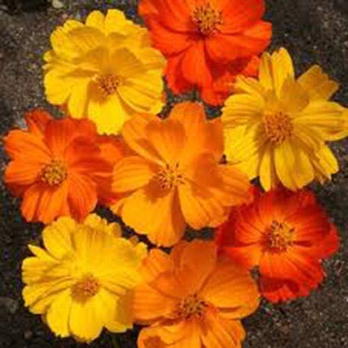 Cosmos-Mix, einjährige Blume, 310 Samen