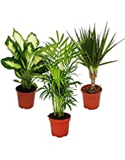 Indoor Plant Mix II Set of 3, 1x Dieffenbachia, 1x Chamaedorea (Mountain Palm) 1x Dracena Marginata (Dragon Tree), 10-12cm Pot