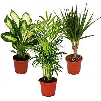 Indoor Plant Mix II 3rd Sets, 1x Dieffenbachia, 1x Chamaedorea (Mountain Palm) 1x Dracena marginata (Dragon's Tree), 10-12cm pots, Green Plants Set