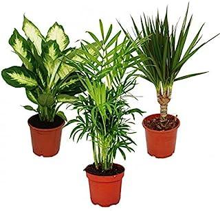 Indoor Plant Mix II Set of 3, 1x Dieffenbachia, 1x Chamaedorea (Mountain Palm) 1x Dracena Marginata (Dragon Tree), 10-12cm...