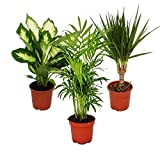 Indoor Plant Mix II Set of 3, 1x Dieffenbachia, 1x Chamaedorea (Mountain Palm) 1x Dracena Marginata...