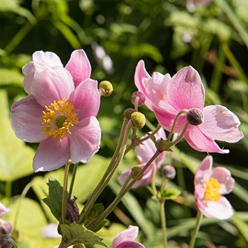 rosa japanische Anemonenblumen
