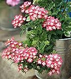 Verbena Homestead Semi viola - Verbena x pendola ibrida