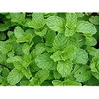 Menta verde fresca 250 Semillas Mentha Spicata crecer sus propias hierbas Fácil Crecer