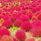 Yukio Samenhaus - Exotic 200 Stück Sommerzypresse (Saatgut) essbar, Zierpflanze'Besen-Radmelde' Besenkraut Kochia scoparia var. Trichophylla schnell keimen (Rot(SVC031290_3))