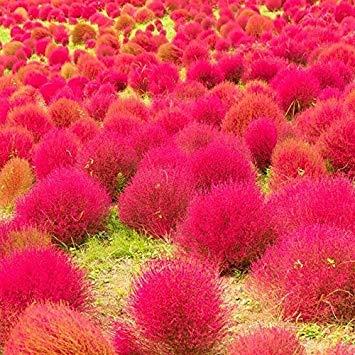 Yukio Samenhaus - Exotic 200 Stück Sommerzypresse (Saatgut) essbar, Zierpflanze
