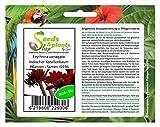 Stk - 10x Erythrina variegata Indischer Korallenbaum Pflanzen - Samen ID196 - Seeds Plants Shop Samenbank Pfullingen Patrik Ipsa