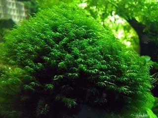 "Phoenix Moss ""Fissidens Fontanus"" - Live Aquarium Plant"