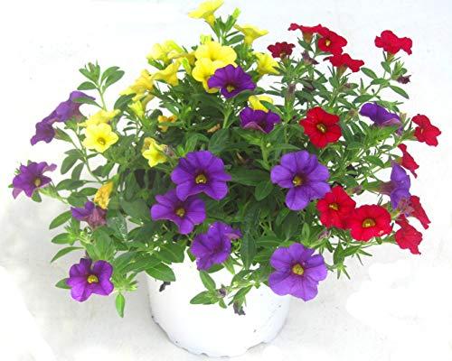 Calibrachoa Million Bells - Zauberglöckchen Trio 13 cm Topf Balkonpflanze Frühling Sommer