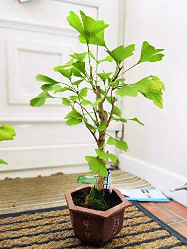 Easy Plants® Ginkgo Bonsai Maidenhair Baum Outdoor Pflanzen im Terracotta Topf