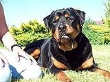 Rottweiler, Boston Terrier, Basset Hound, Shar Pei, St. Bernard