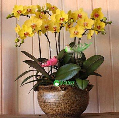Fleur exotique Orchidée Graines Cattleya Multicolor Papillon Orchidee Bonsai Monoflord Mini jardin plante facile à cultiver 200 pcs/sac 12