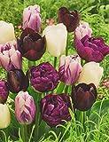 50 Tulpenzwiebeln weiß/lila/schwarz gemischt Blumenzwiebeln
