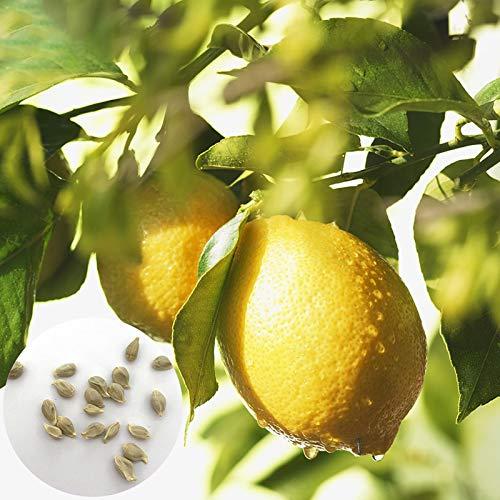Semillas del árbol de limón, 20pcs / Semillas bolsa de limonero nutritivo Fácil de siembra de alta germinación perennes Sembrando la Semilla de jardín