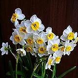 Un bon choix pour exprimer l'amour - Ampoules Narcisse Paperwhite! (7)