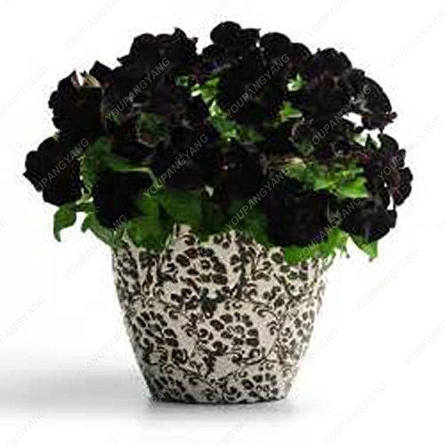 100 semillas Negro Petunia Petunia --Black terciopelo, rara variedad, resistente, duradera balcón, patio de flor libres del envío