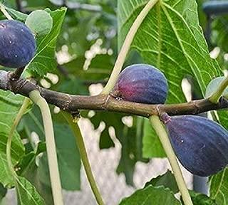 LSU Purple Fig (ficus) - Live Plant - Quart Pot