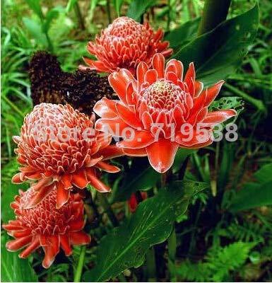 Fackel-Ingwer - 30Pcs Etlingera Elatior Blumensamen-Rosen-Blumen Exotische Samen Garten Samen Rote Blume *