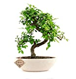 Abana Homes Chinese Elm Bonsai Live Plant with Pot - Home Decor |