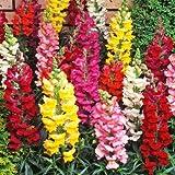 antirrhinum dwarf colore misto - sementi di fiori, 100 semi/pack