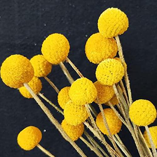 100Pcs Craspedia Globosa Seeds Natürliche produktive jährliche Oranamental Flower Bonsai Sämlinge für Garten - Samen