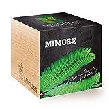 Feel Green Ecocube Mimose, Blätter Schließen Sich bei Berührung, Nachhaltige Geschenkidee (100% Eco Friendly), Grow Your Own/Anzuchtset, Pflanzen Im Holzwürfel, Made in Austria