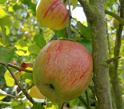 Altländer Pfannkuchenapfel, Apfelbaum, alte Sorte, Buschbaum (kleinbleibend), 120-140cm im Topf
