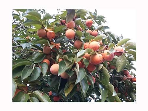 Sharon-Frucht, Diospyros Kaki, japanischer Persimmon, essbar, Obst, zimtfarbenes Fleisch, 15 cm hoch, starke Starterpflanze