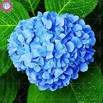10 pcs / sac de graines de hortensia, bonsaïs graines de fleurs rares Chine Escalade hortensia fleurs vivaces de jardin graines pot extérieur 1