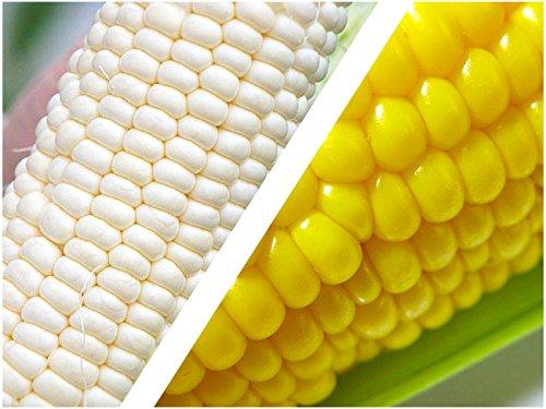 恵味ゴールド&白いとうもろこし (各5本、計10本) とうもろこし2種セット 北海道から産地直送