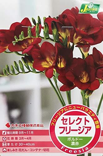 【花球根】 セレクトフリージア ボルドー濃赤 5球入