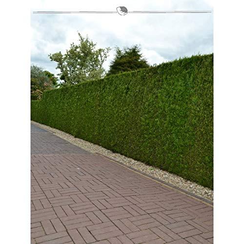 Lebensbaum Thuja Brabant 160-180 cm. Angebot: 25 Koniferen. Thuja occidentalis Brabant Heckenpflanze. Winterhart und Pflegeleicht. Immergrüne Lebensbaum. Thujahecke als Sichtschutz | Inkl. Versand